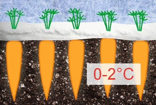 Посадка моркови под зиму