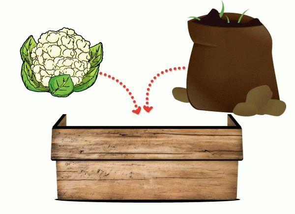 Доращивание цветной капусты в грунте