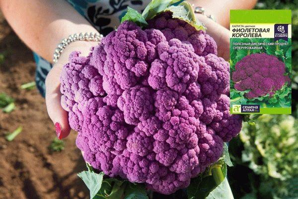 Цветная капуста Фиолетовая королева