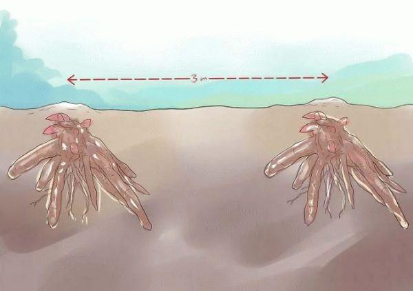 расстояние между клубнями пионов