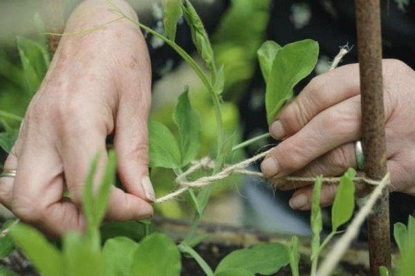 Садовод подвязывает росток гороха