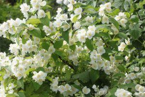 5 способов размножения жасмина