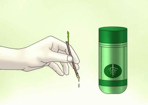 срезанный черенок жасмина и стимулятор корнеобразования