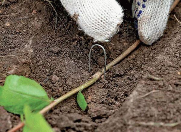размножение жасмина отводками