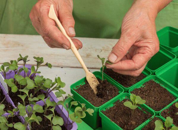 пикирование рассады капусты