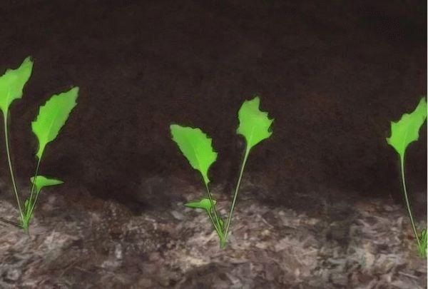 рассада капусты в открытом грунте