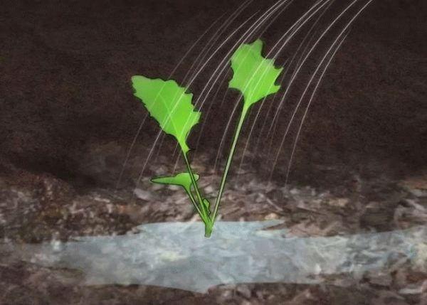 полив рассады кольраби
