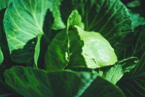 Описание капусты Парел: характеристики гибрида