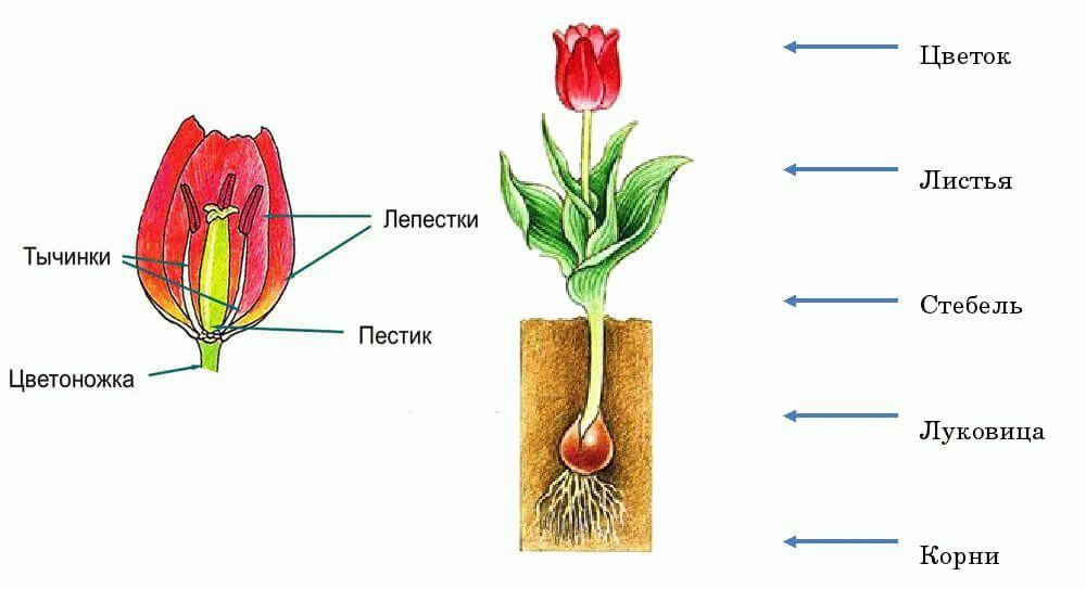 строение тюльпана