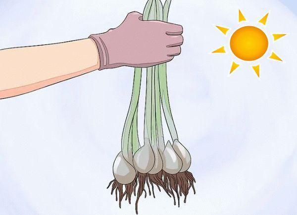 луковицы тюльпанов в руке