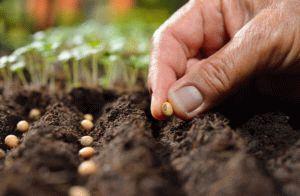 Посадка редьки в открытый грунт семенами: сроки и правила выращивания