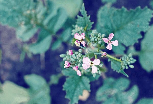 цветение редьки