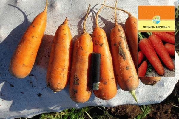 Морковь Кордоба
