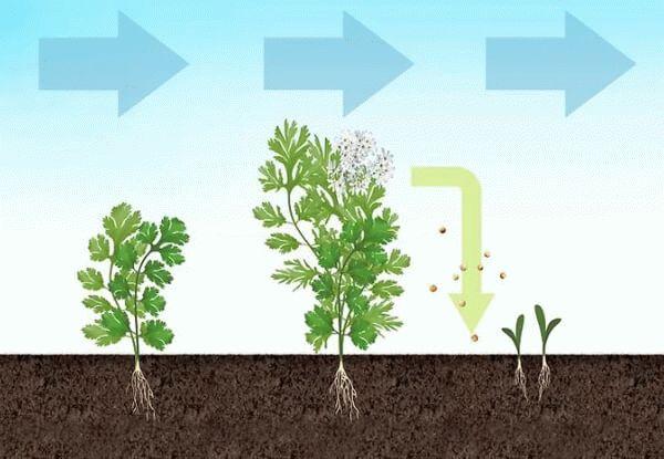 цикл роста кориандра