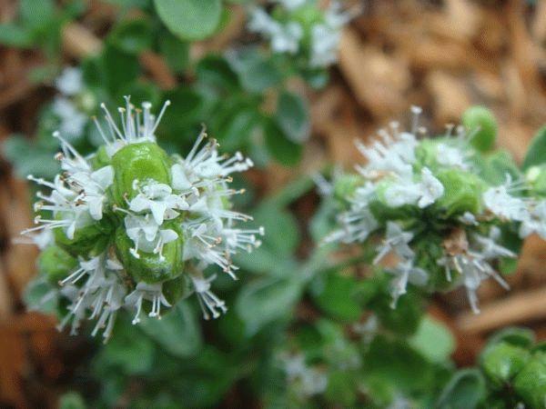 цветочный майоран