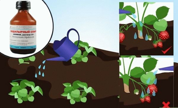 полив ягодника с удобрением