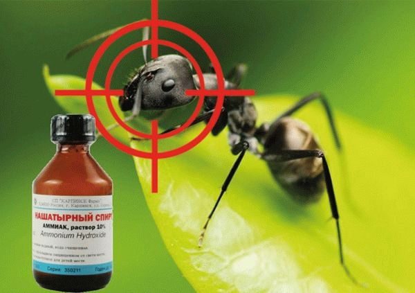 Нашатырный спирт против муравьев на огороде