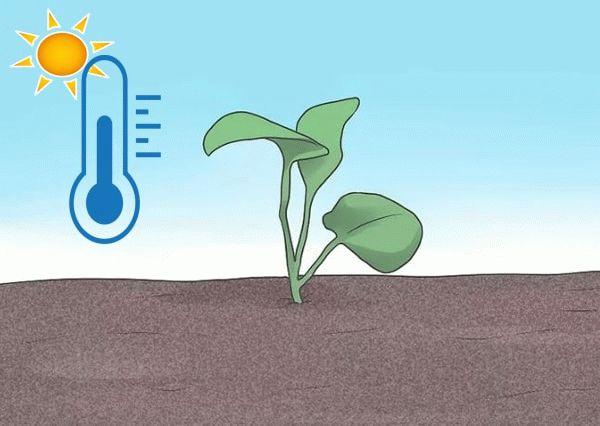 температура для выращивания рассады
