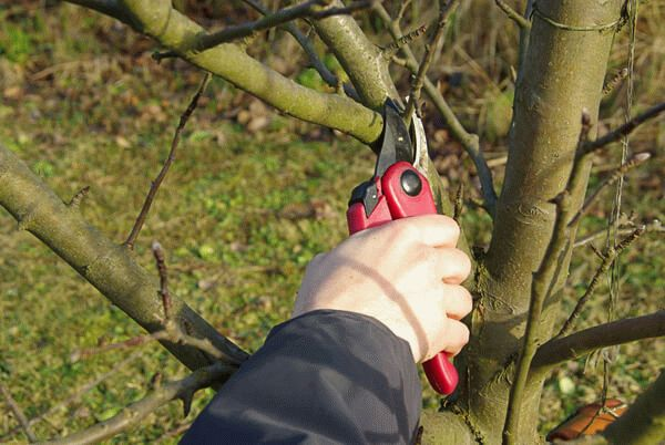 обрезка веток яблони секатором
