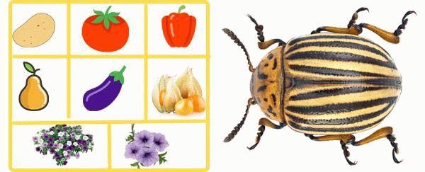 растения для колорадского жука