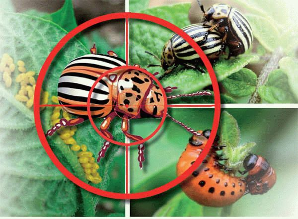 колорадский жук под прицелом