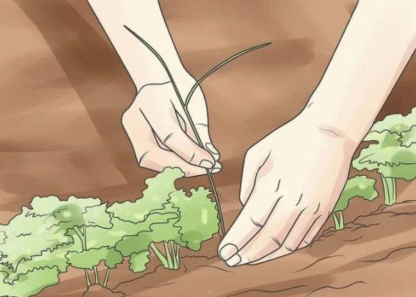 удаление сорняков петрушки