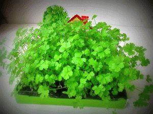 Выращивание петрушки дома на подоконнике: 2 проверенных способа