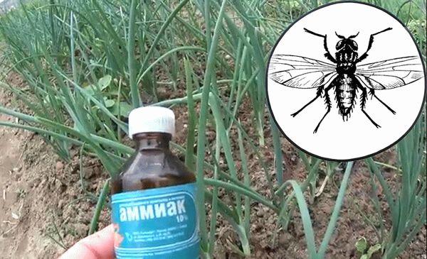 нашатырь от луковой мухи