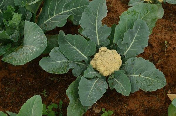 Подкормка цветной капусты в открытом грунте чем и как удобрять