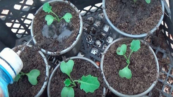 Удобрение рассады цветной капусты