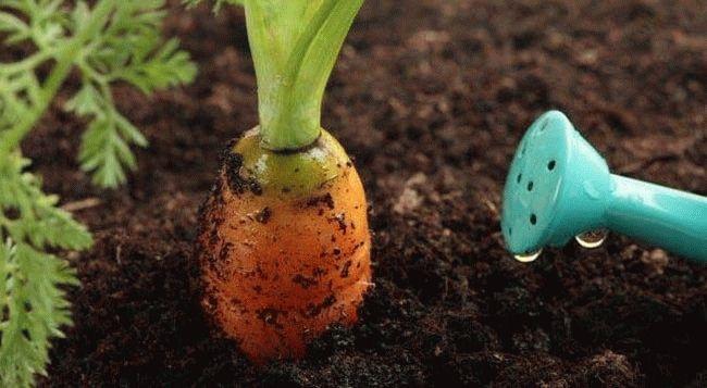 морковь и лейка