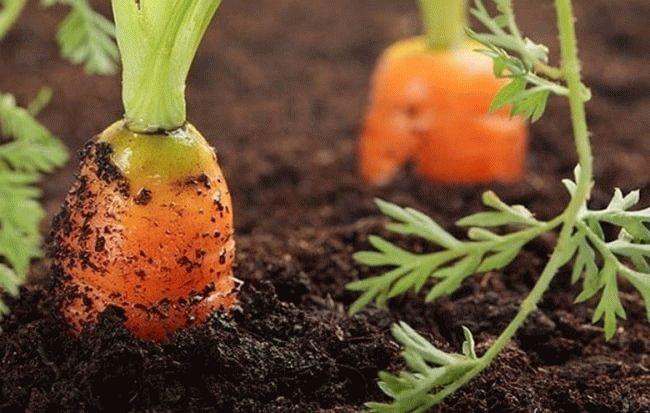 морковь в почве