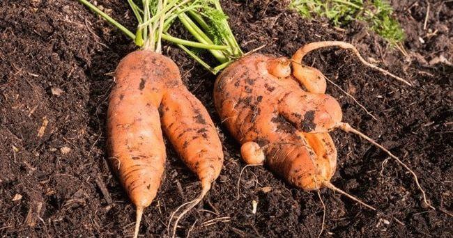 деформированная морковь