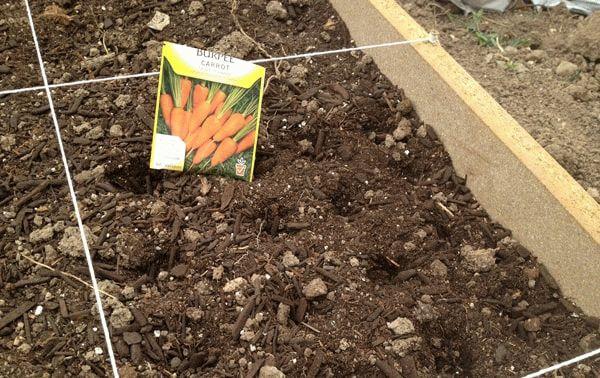 Семена моркови на грядке