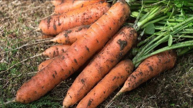 морковь на земле