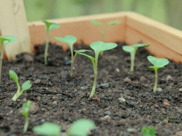 рассада ранней капусты