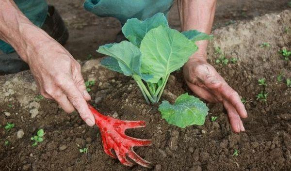 Посадка савойской капусты