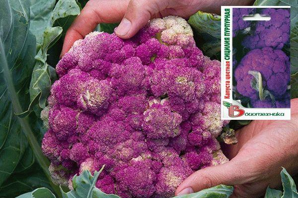 Цветная капуста Сицилия Пурпурная