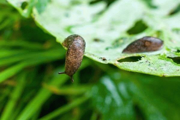слизни на листе капусты