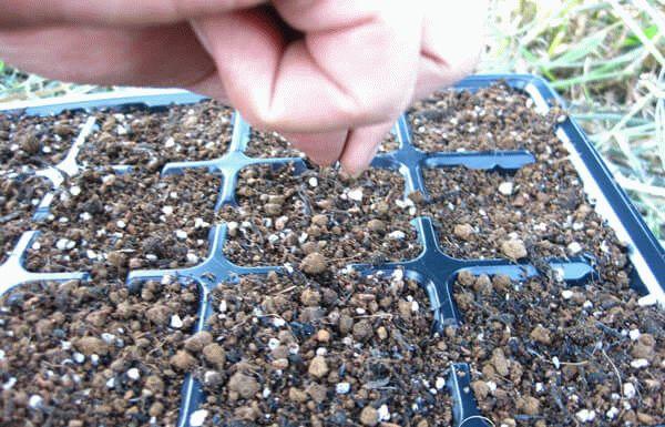Посев семян цветной капусты в контейнеры