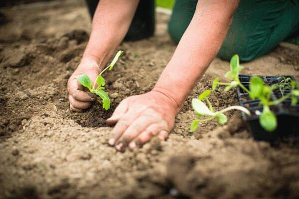 Высадка цветной капусты в открытый грунт