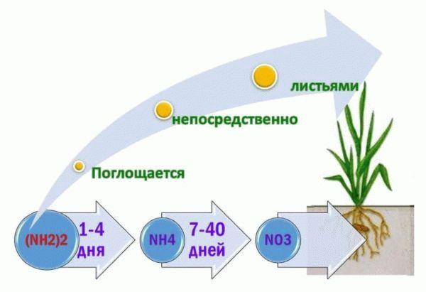 поглощение азота растениями