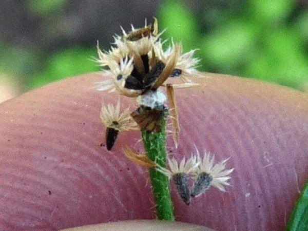 семена галинзоги в руке