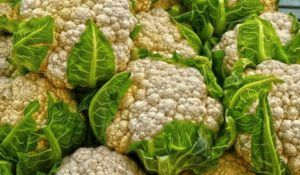 Цветная капуста: выращивание рассады и уход в открытом грунте