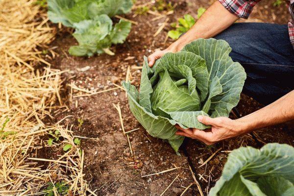 Когда убирать капусту с огорода сроки уборки капусты