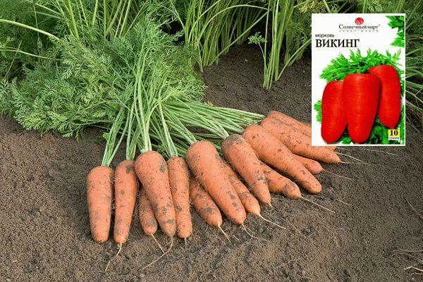 морковь викинг