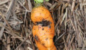 Вредители и болезни моркови