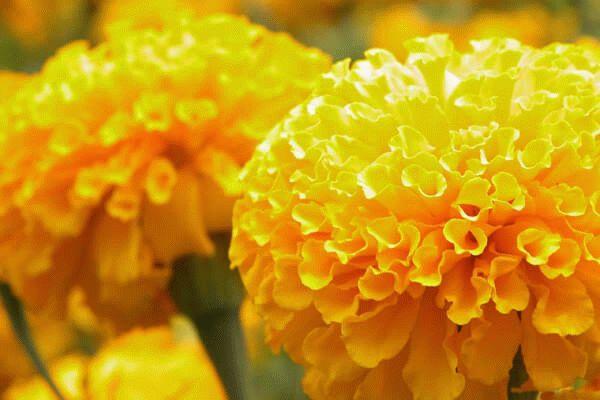 Хризантемовидные бархатцы