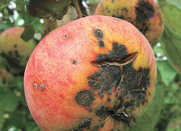 Звездчатое растрескивание плодов
