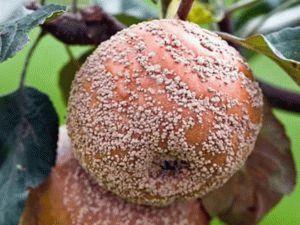 Болезни яблони: описание и лечение
